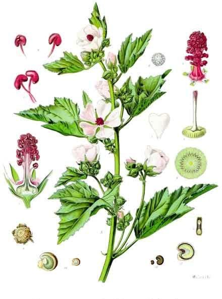 planche botanique guimauve