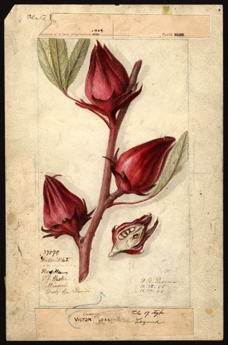 planche botanique hibiscus