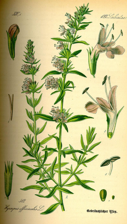 planche botanique hysope