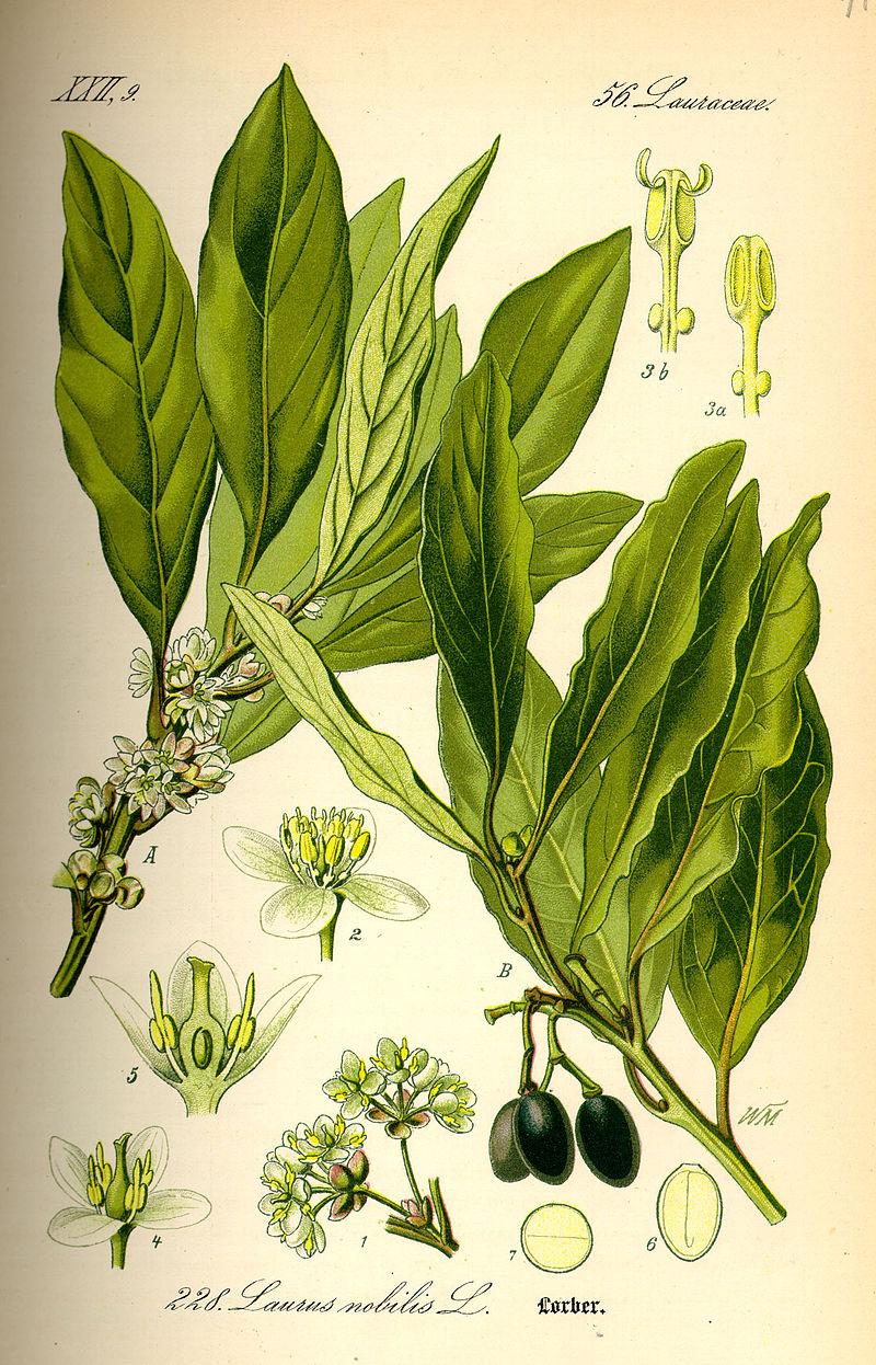 planche botanique laurier