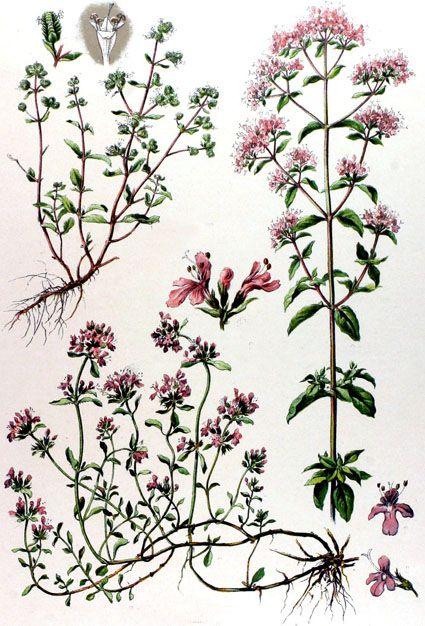 planche botanique marjolaine
