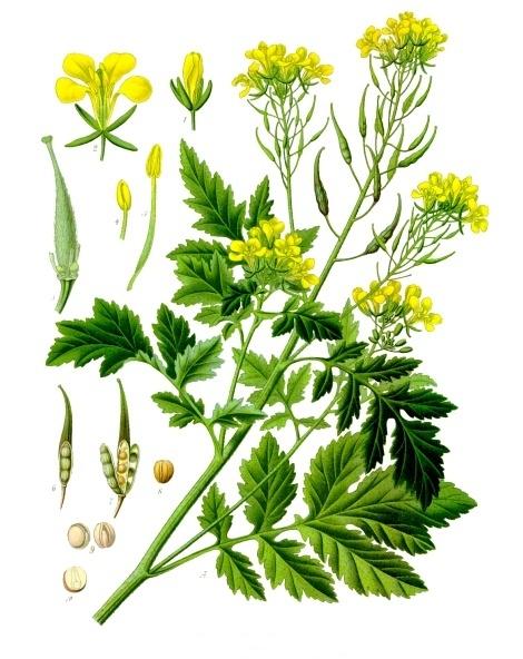 planche botanique moutarde