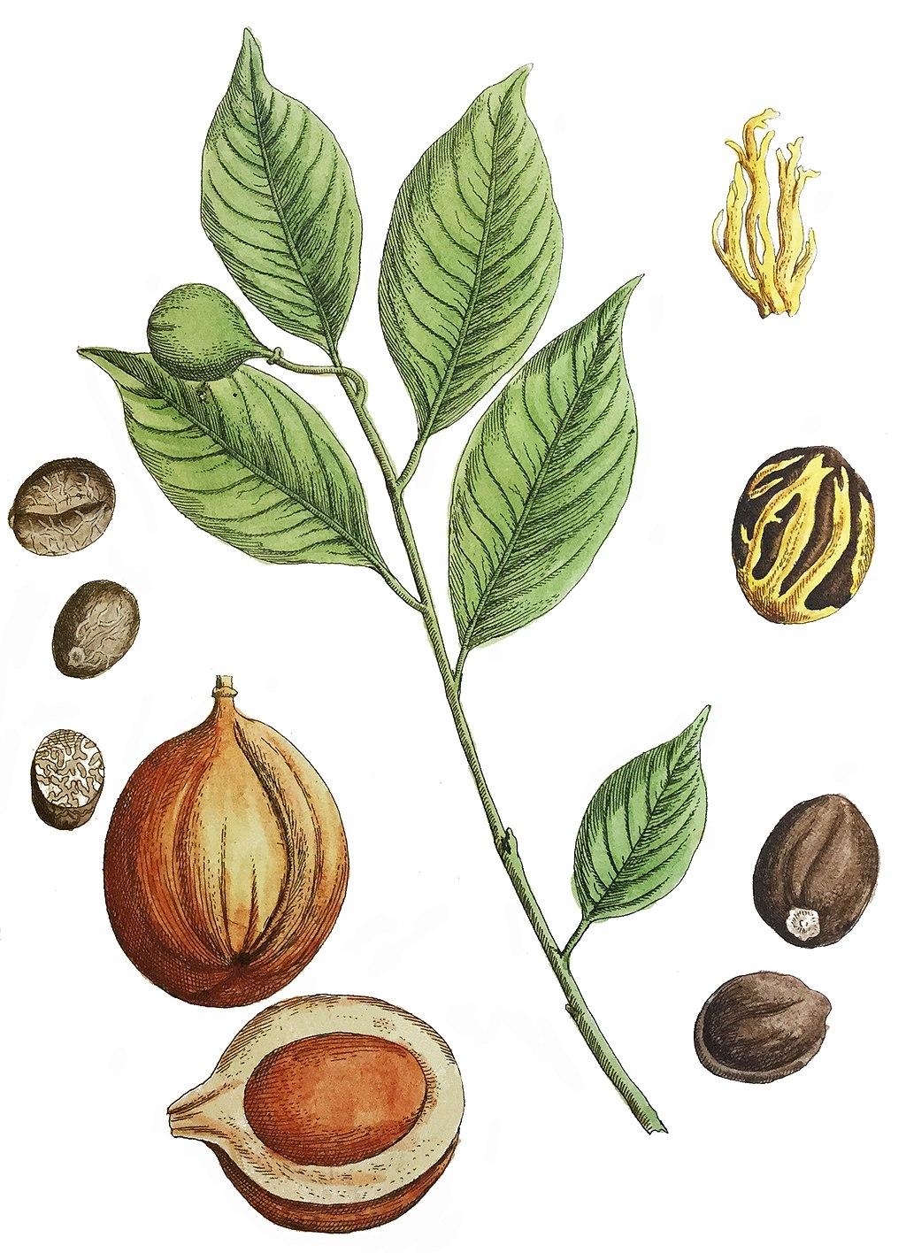 planche botanique muscade