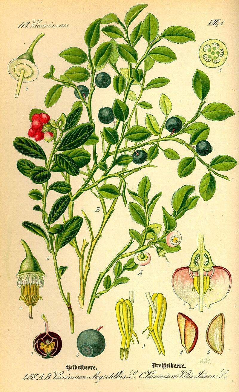 planche botanique myrtille