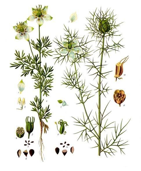 planche botanique nigelle