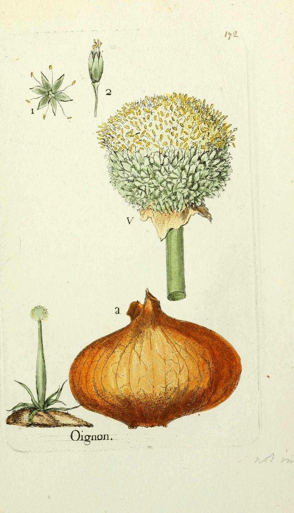 planche botanique oignon