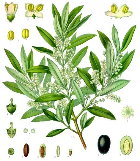 planche botanique olivier
