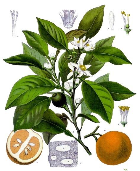 planche botanique oranger