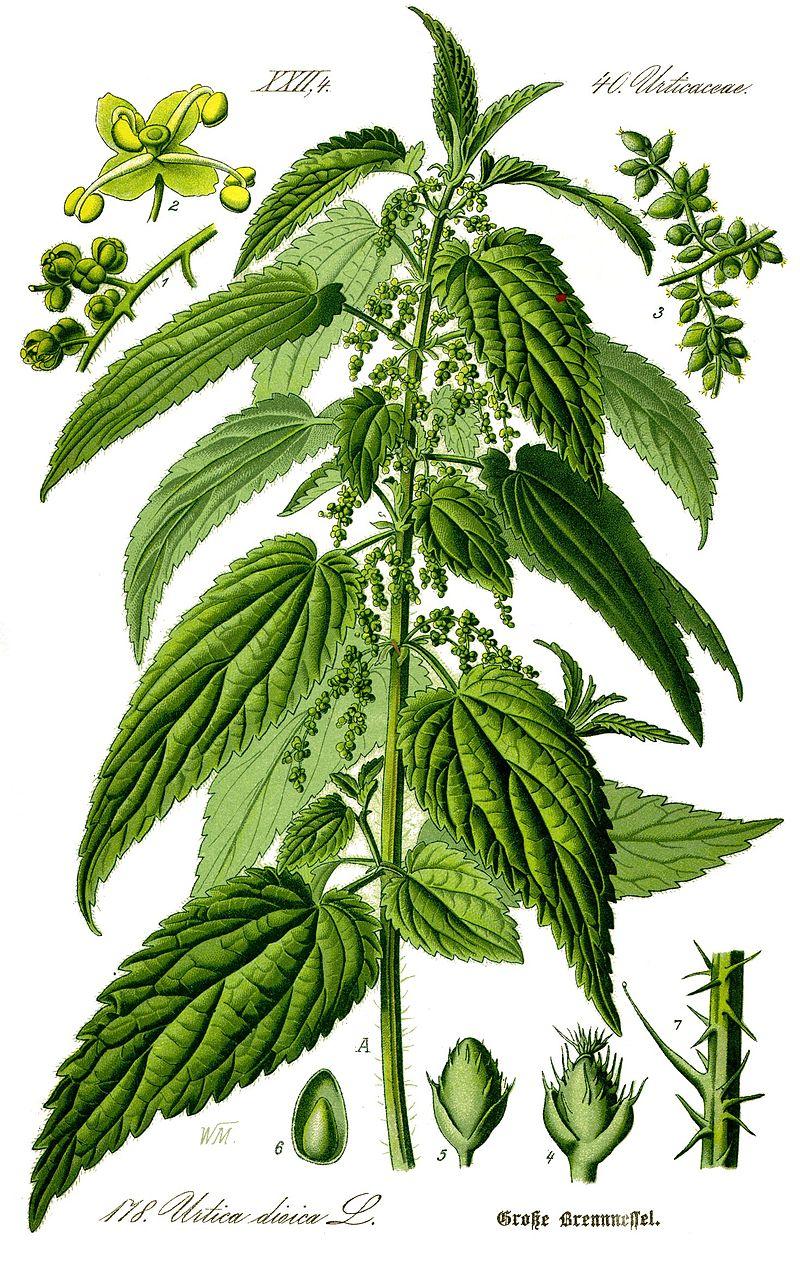 planche botanique ortie