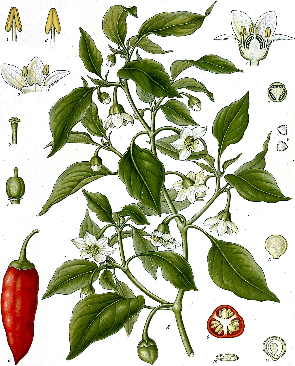 planche botanique paprika
