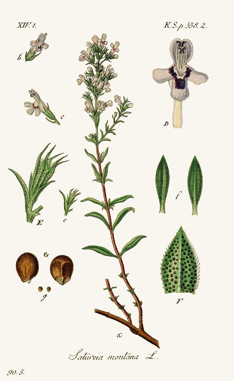 planche botanique sarreitte