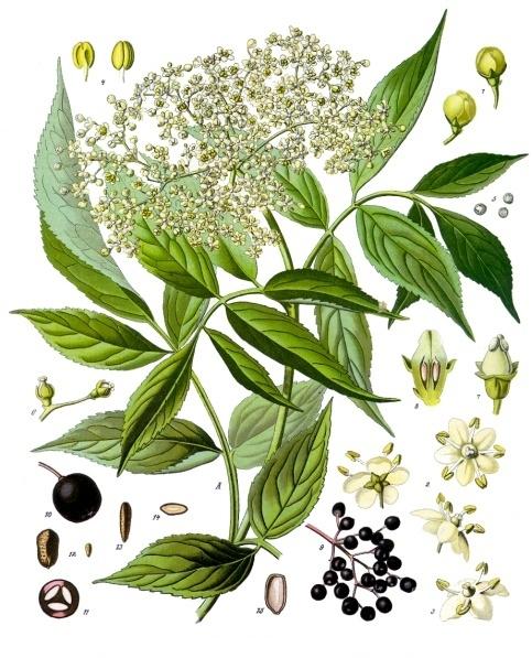 planche botanique sureau