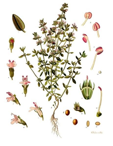 planche botanique thym