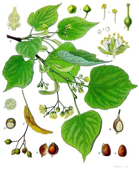 planche botanique tilleul