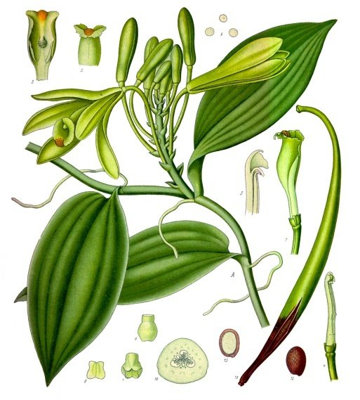 planche botanique vanille