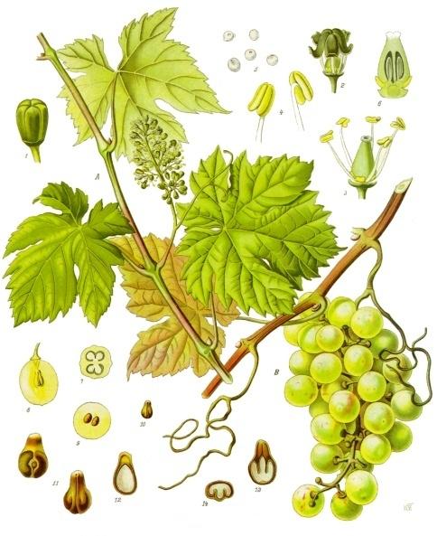 planche botanique vigne rouge