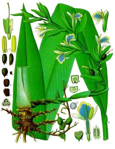 planche botanique cardamome