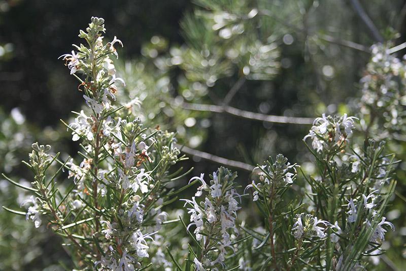 Romarin sauvage en fleur dans le Gard