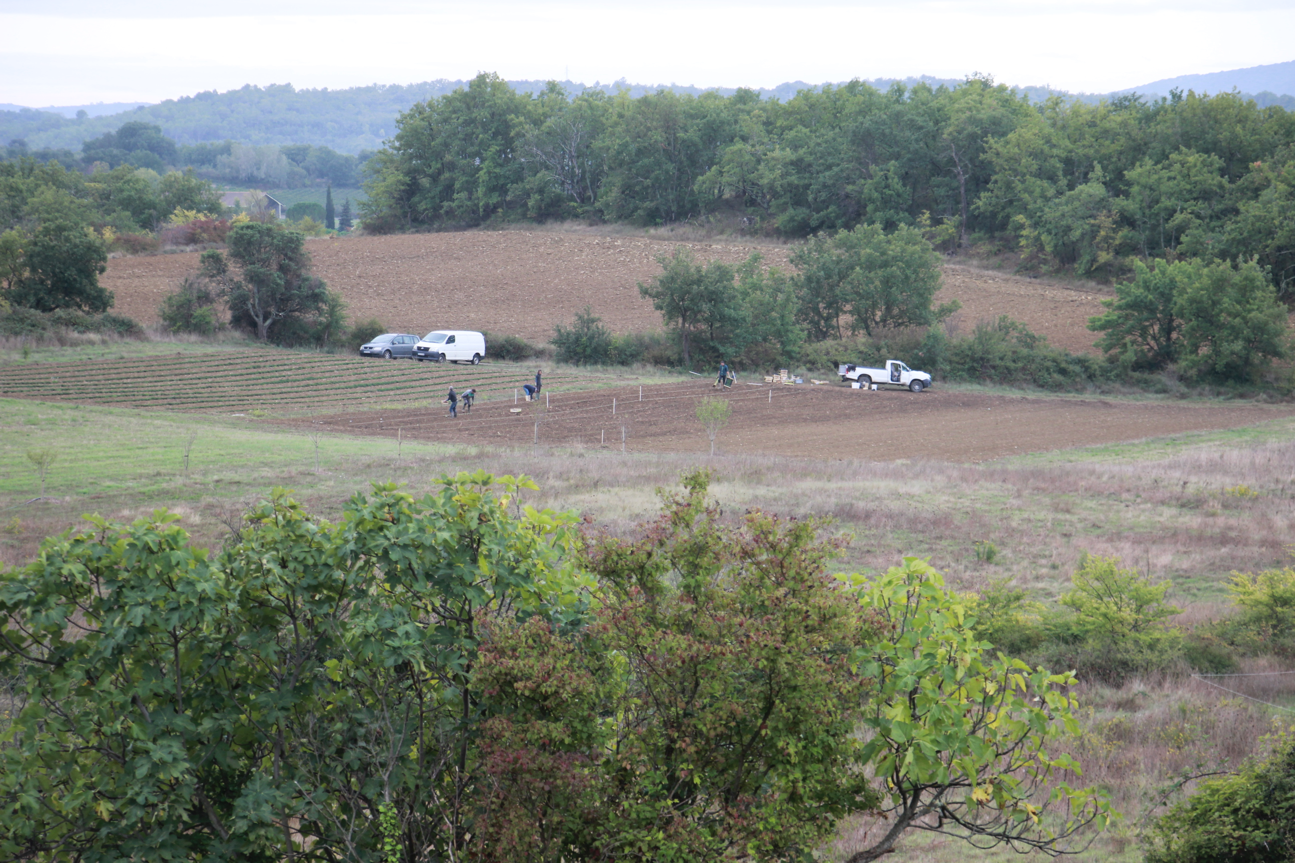 Parcelle expérimentale de sarriette en cours de plantation manuelle