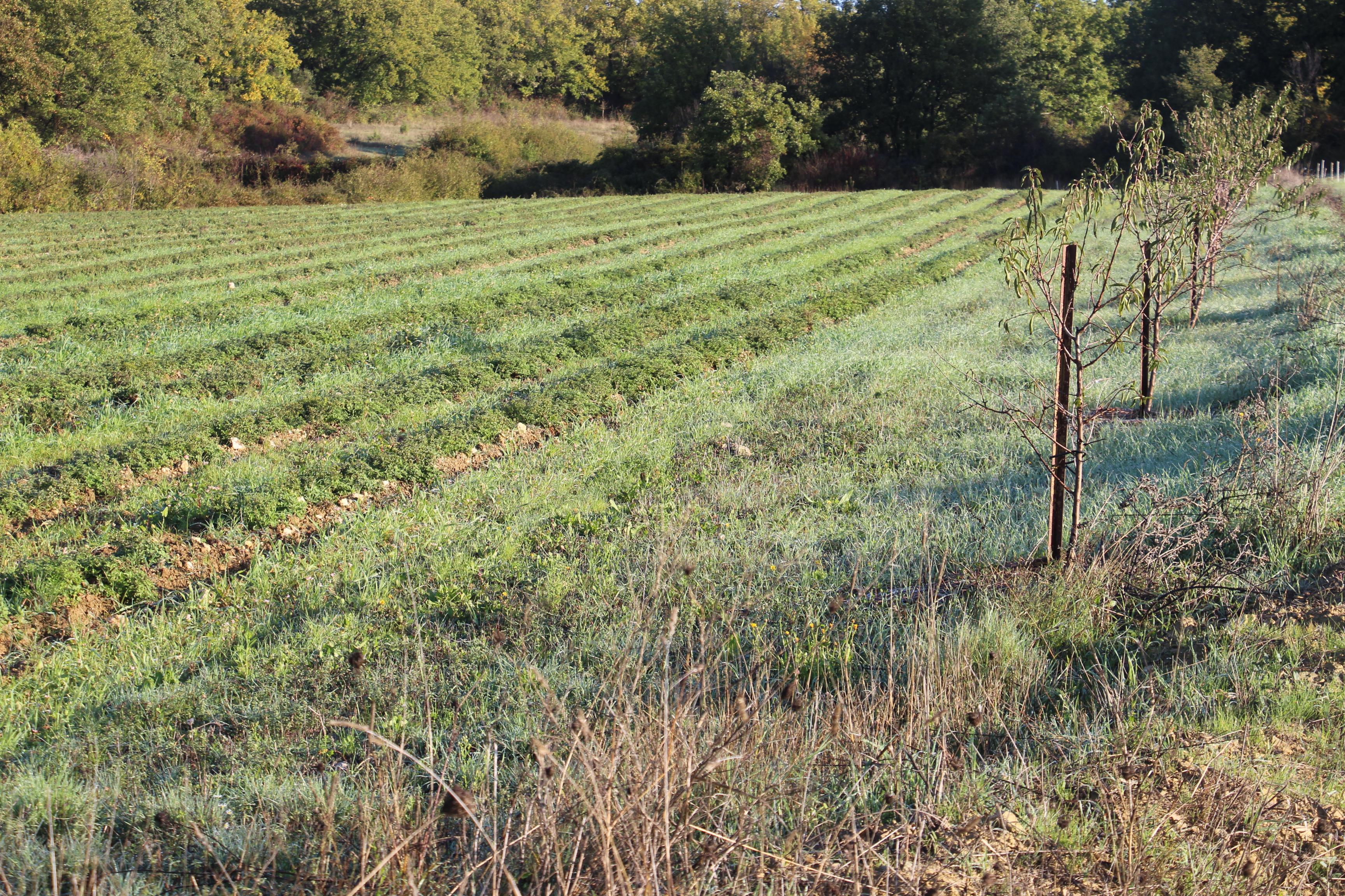 amandiers sur les terres d'Arcadie pour expérimenter l'agroforesterie