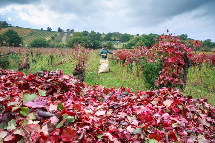 Cueillette feuilles vigne rouge photo Maxime Beaufey