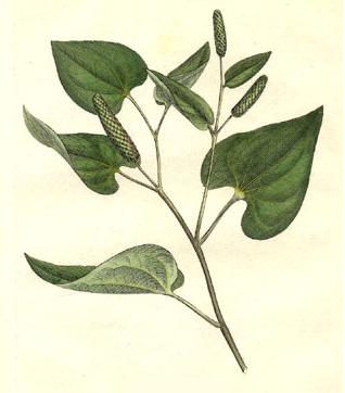 Piper longum planche botanique 1793