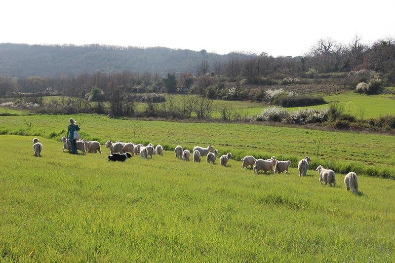 chèvres Mohair en pature