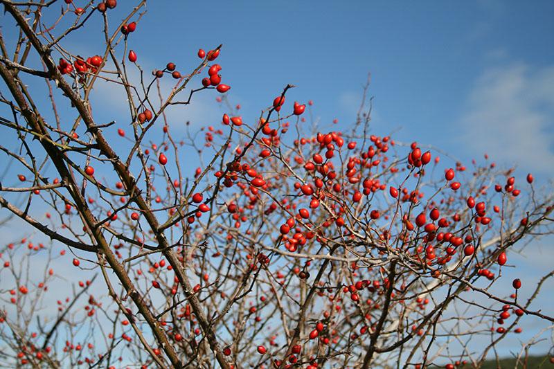 fruit des églantiers cueillette de plantes sauvage