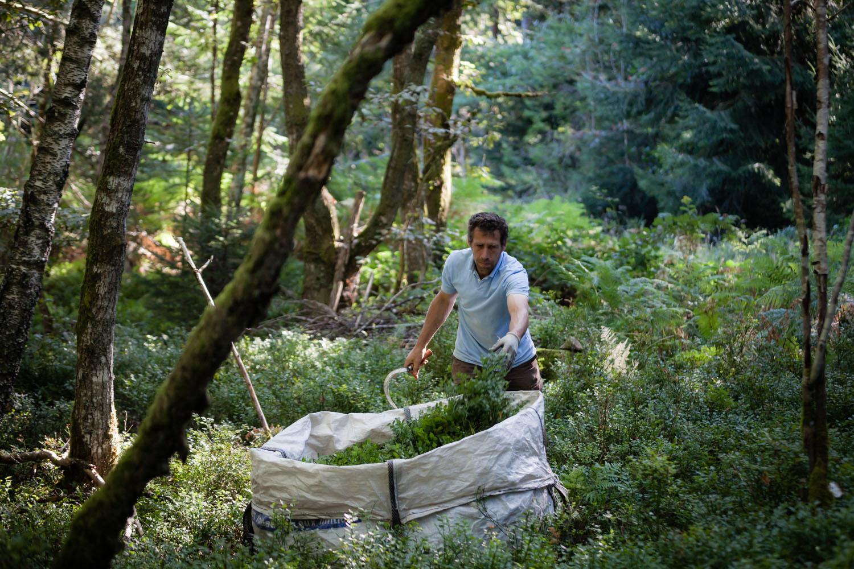 Alexis Brunel cueillette feuilles de myrtillier
