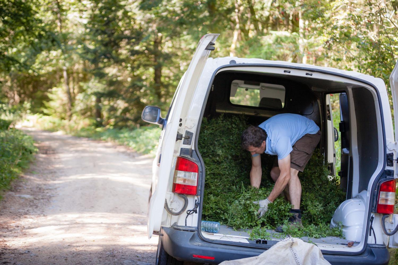 récoltes de sommités de myrtillier