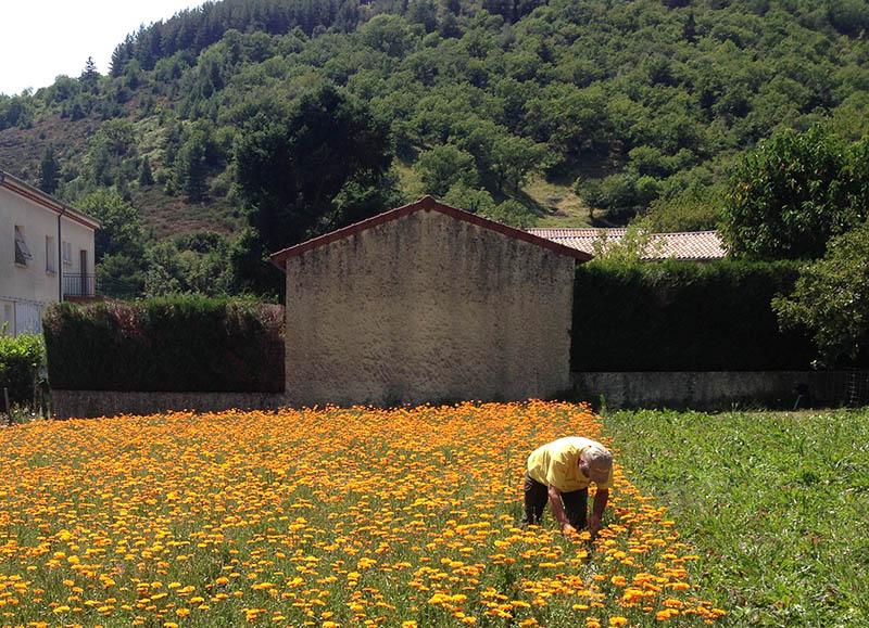 Récolte calendula Ardèche