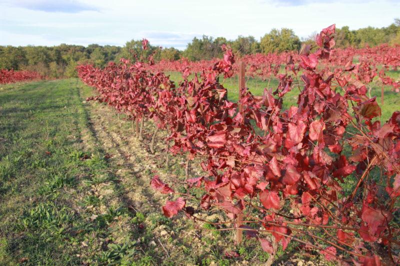 vigne rouge agroforesterie