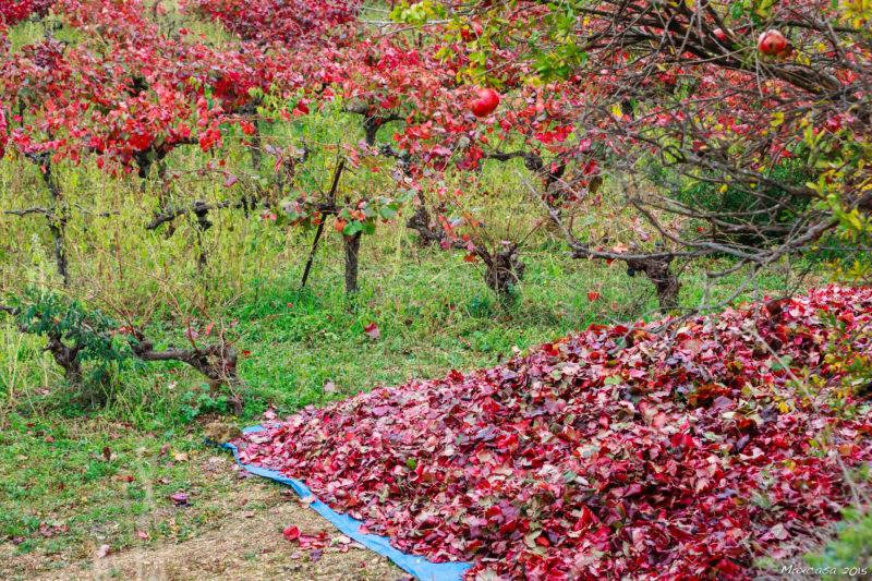vignerouge sur bâche après récolte